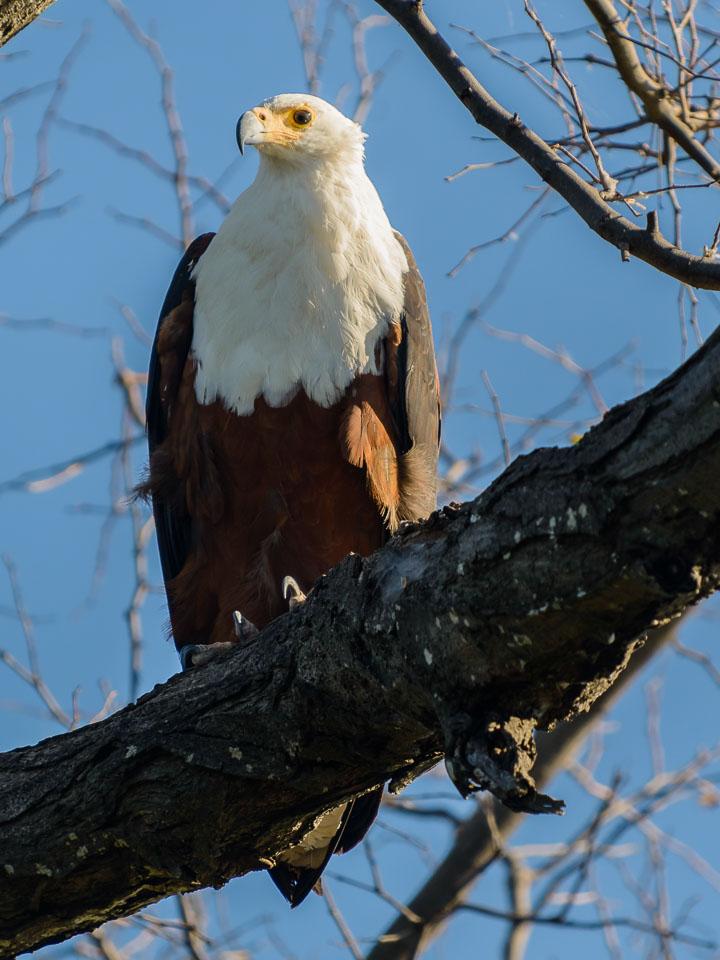 ZA131430-Sea-eagle-in-the-Okavango-Delta.jpg