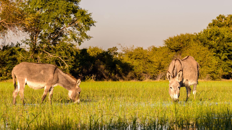 ZA131446-Wild-donkeys-at-the-Okavango-Delta-.jpg