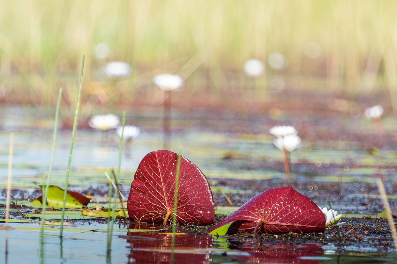ZA131482-Okavango-Delta-flora.jpg