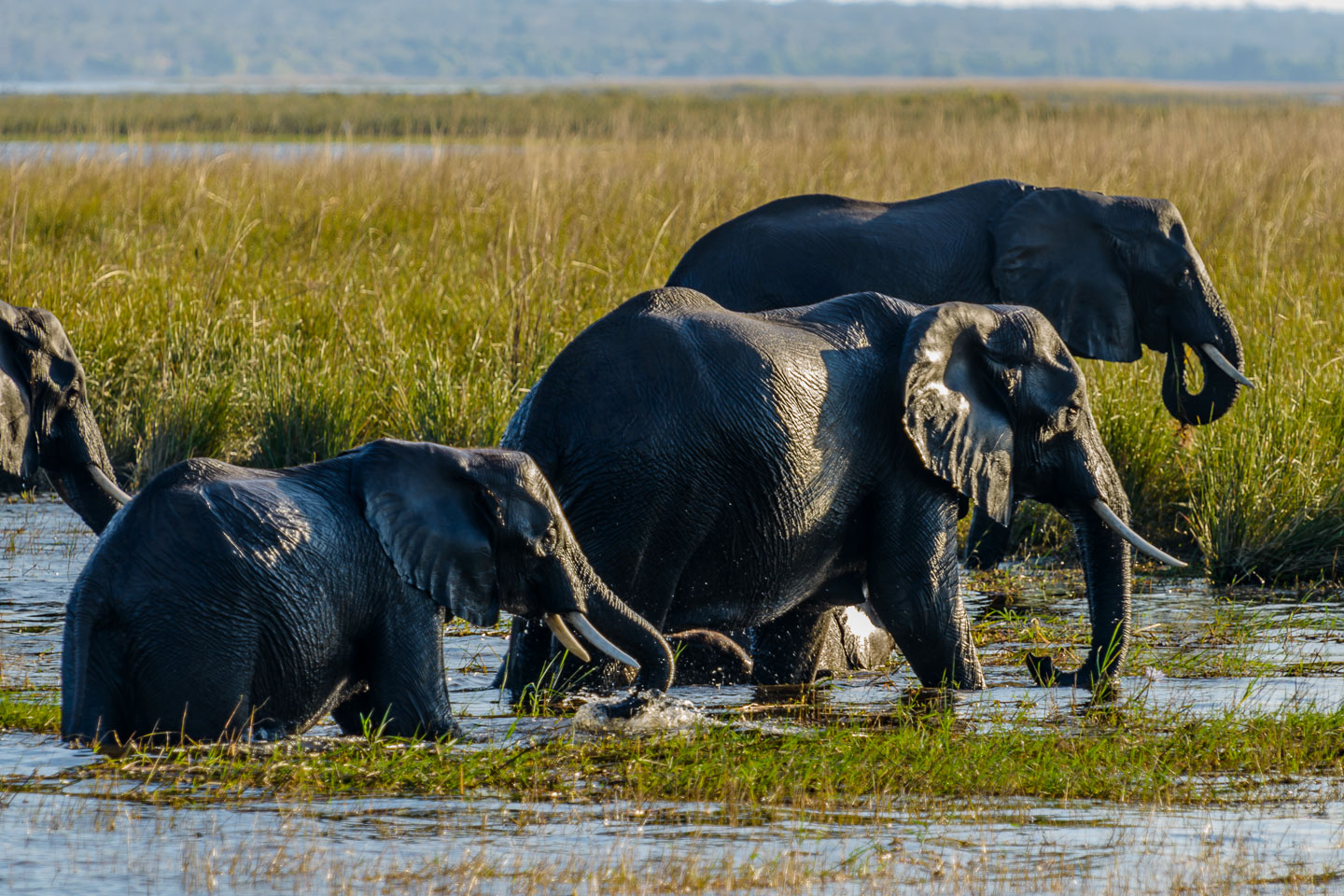 ZA131728-Elephants-emerging-from-the-Chobe-river-after-a-swim.jpg