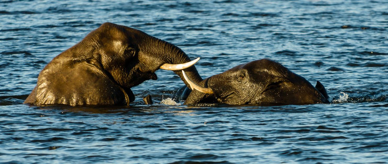 ZA131762-Elephants-swiming-in-the-Chobe-river.jpg