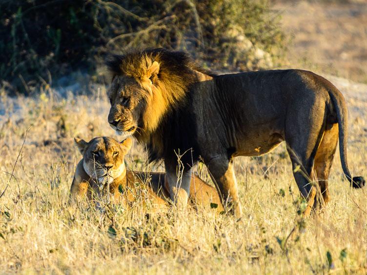 ZA131574-Lions-at-Chobe-NP.jpg