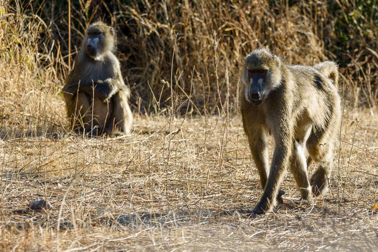 ZA131598-Chobe-NP-Baboons.jpg