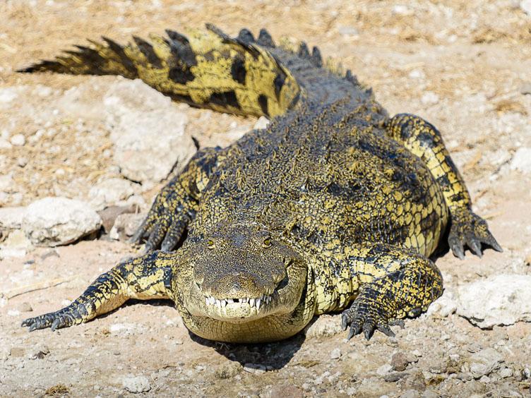 ZA131662-Crocodile-at-the-banks-of-the-Choba-river.jpg