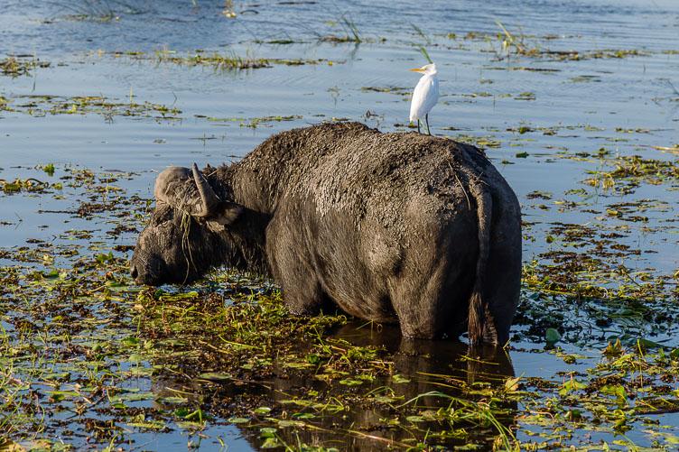ZA131727-Cape-buffalo-at-Chobe-NP.jpg