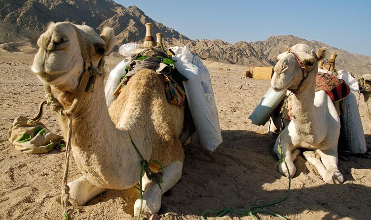 EG05146-Camels-in-the-Sinai.jpg