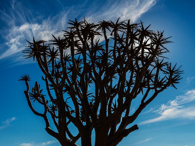 ZA130485-Aloe-Dichotoma.jpg