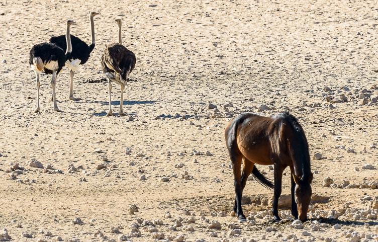 ZA130546E-Wild-horses-and-ostrichs.jpg