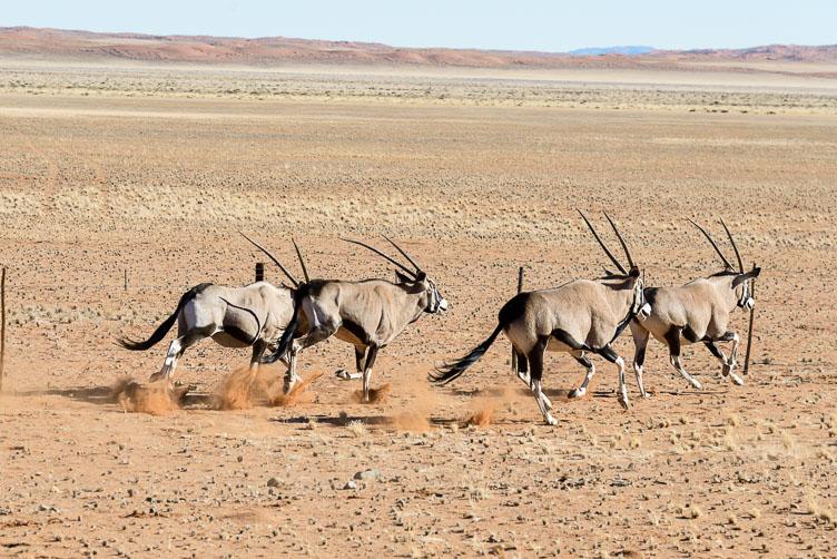 ZA130815-Oryx-in-Etosha-NP.jpg