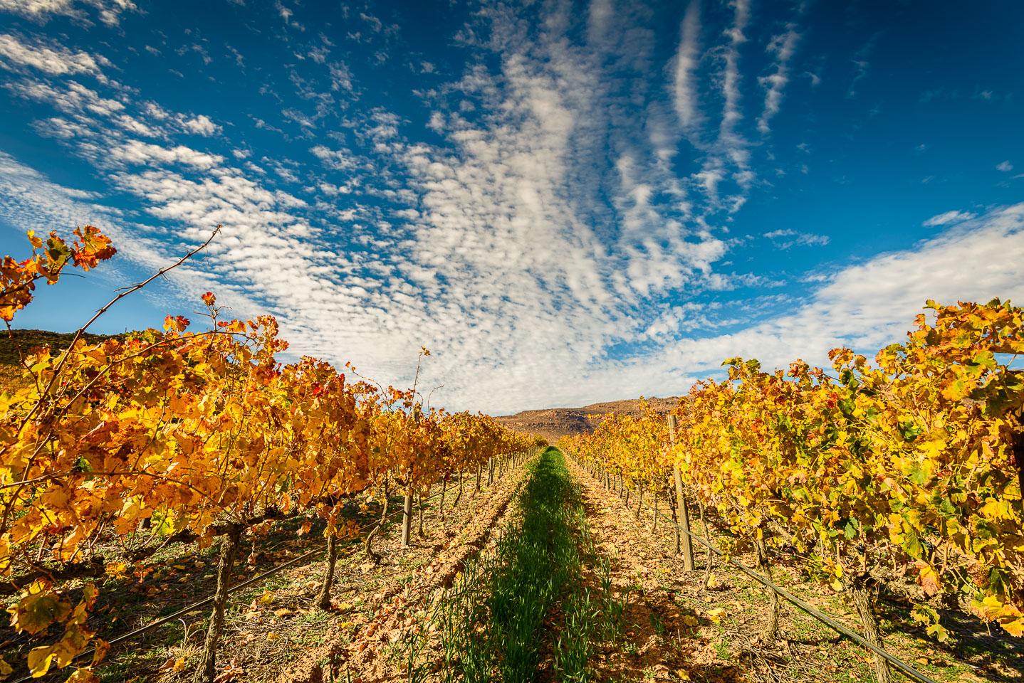 ZA130374-Cederbergen-Vines.jpg