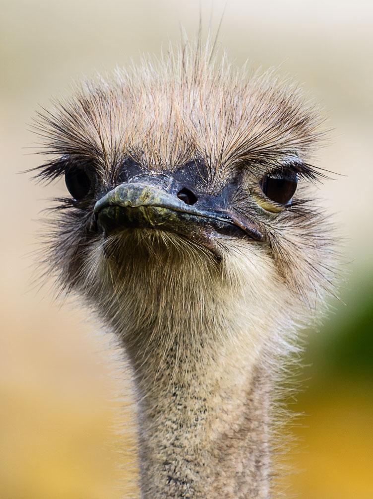 ZA130234-Ostrich-at-the-Cape.jpg